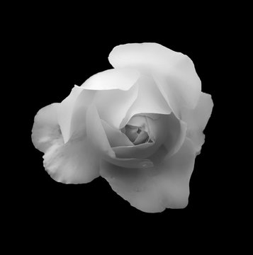 monochrome soft glowing romantic white rose on a black background