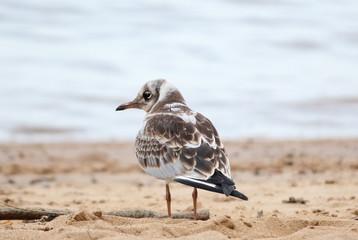 chick sea gull sitting on the beach
