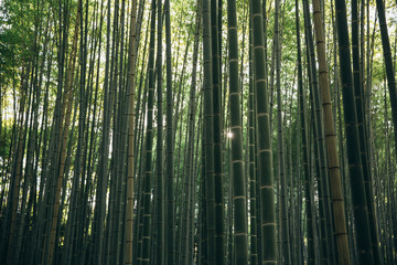 Japanese Bamboo forest background with film vintage style