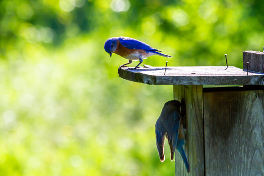 Bluebirds on birdhouse