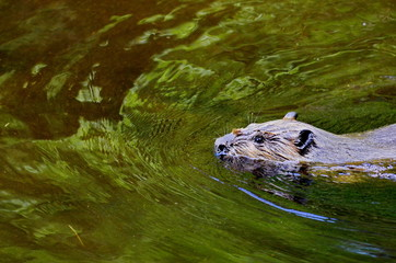 Beaver swimming in a Green Reflection, Ontario, Canada