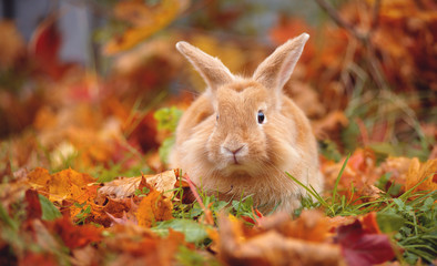 Decorative little rabbit in autumn in maple leaves