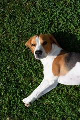 Beagle dog resting in garden in the sun on a grass