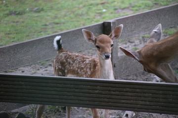 venison and hinde deer in public animal farm in Nieuwerkerk aan den Ijssel