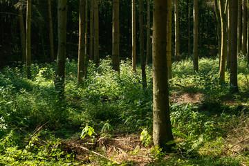 forêt de sapins