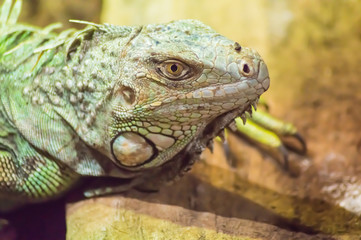 close up on the head of an iguana in a park