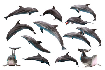 Photo sur cadre textile Dauphin Set of Bottlenose Dolphin on white isolated background