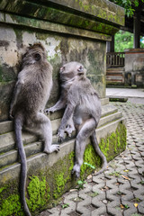 Portrait of two monkeys in Sacred Monkey Forest