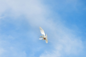 white dove - symbol of peace