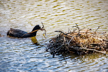 Coot building a nest