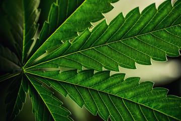 cannabis sativa, still life of marihuana leaves, medical plant