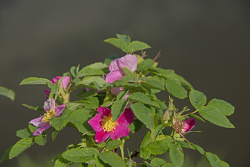 FLOWERS - the dogrose blossoms