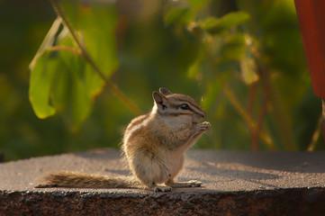 Chipmunk eating seeds in garden;  Wyoming