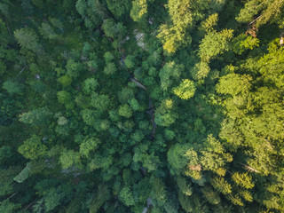 Aerial view of green forest in evening light