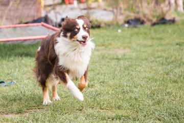 Australian shepherd dog living in Belgium