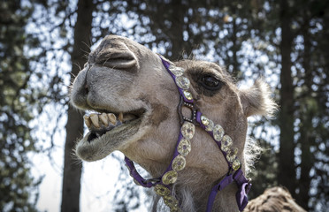 Humorous photo of smiling camel.