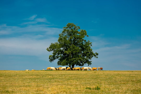 Bright summer sunny day, rural countryside, yellow field in foreground, green tree in the middle of horizon, herd of white and brown cows hiding in the shadow of tree, blue sky with clouds, copy space