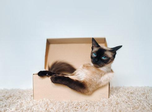 Poker Face. Sassy muzzle of cat boss. Siamese cat in a cardboard box. Cat's habits.