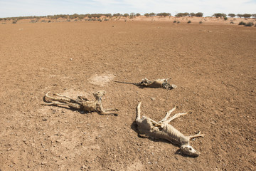 Sturt national park, New South Wales, Australia, dead kangaroos during  drought conditions.