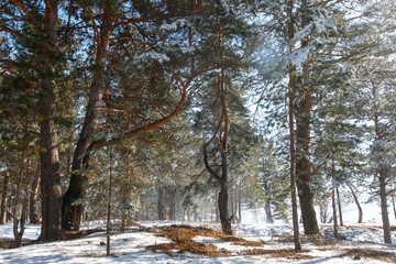Pine forest at winter time