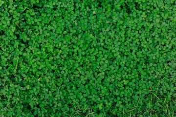 Natural green grass clover texture. Natural background.