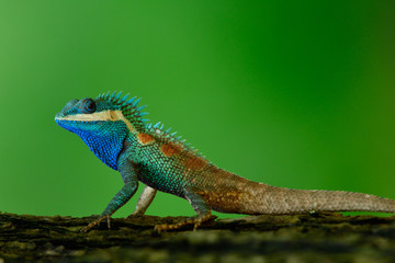 Beautiful bright blue dragon lizard with sharp detail of its spine skin, chameleon on tree over fine blur green background in nature, fascinated animal