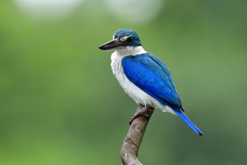 Collared kingfisher (Todiramphus chloris) bright blue and white bird with large beaks perching on wood pole in fine lighting condition in early morning, fascinating animal Fotoväggar