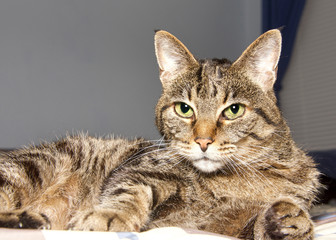 Portrait of a senior tabby cat laying on a bed, part of window in background, looking at viewer. Copy space