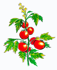 Red tomato vegetable on a branch. Color illustration