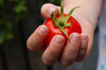 dziecko zrywające soczyste pomidory