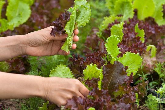 hands picking fresh lettuce in the garden