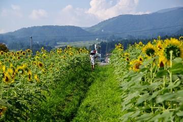 ヒマワリ畑を歩く女の子
