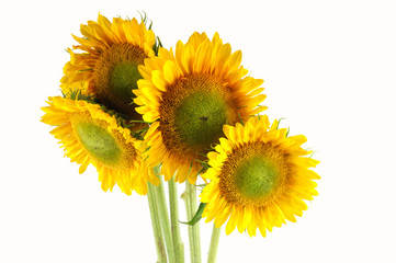 bunch of sunflower isolated on white background