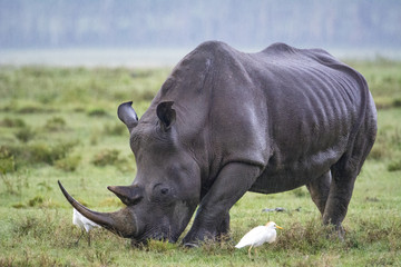 Papiers peints Rhino Rhino of Lake Nakuru, Kenya!