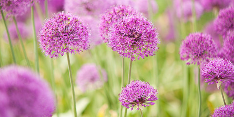 beautiful bright and fluffy flowers of lilac allium blooming in the park or in the garden