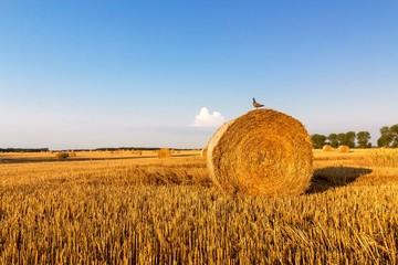 Bird sitting on a straw bale, summer landscape