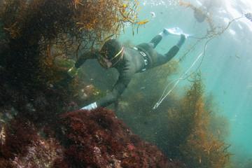 海藻を掻き分けてアワビを探す海女