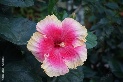 Coloful hibiscus flower with pink insides and white edges stock coloful hibiscus flower with pink insides and white edges mightylinksfo