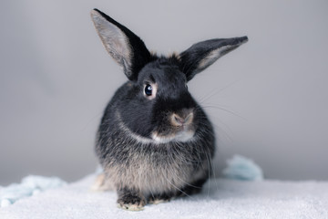 Stunning black bunny rabbit on a grey background. Smart inquisitive face, curious look.