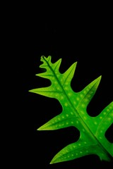 Fototapete - fern green leaf in the rainforest on black background