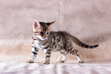 Graceful bengal kitten