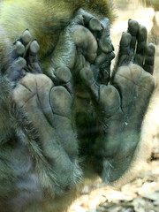 barbary ape monkey feet hand detail on glass plane macaca sylvanus