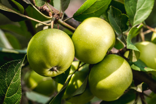 Ripe, juicy, sweet apples on the branches. Harvesting, gardening