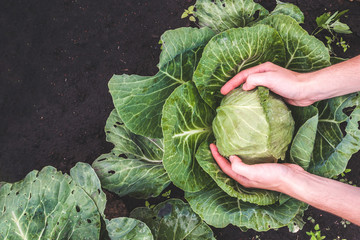 Harvesting cabbage. Vegetables, garden. Healthy food. Vitamins
