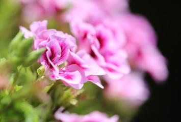 Rose geranium flower