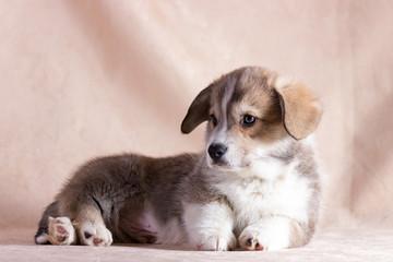 Welsh corgi puppy