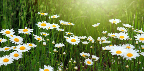 Summer field with white daisy flowers . Flowers background.