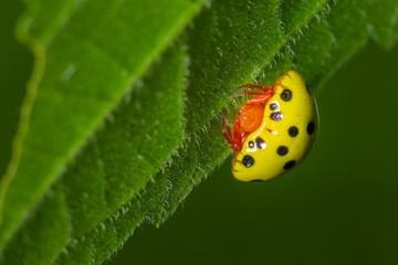 Beautiful yellow body with black spot and orange head ladybug