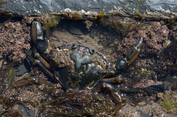 Green Shore Crab (Carcinus maenas)/European Green Crab in tide pool