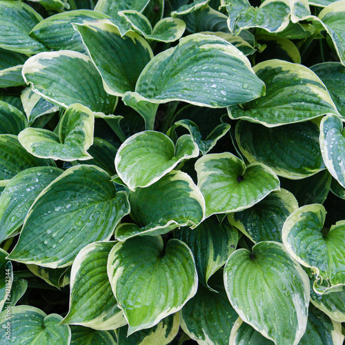 Green Leaves With White Edges Of Hosta Fortunei France After Rain